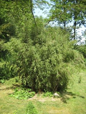 bambus vom limhorn. Black Bedroom Furniture Sets. Home Design Ideas